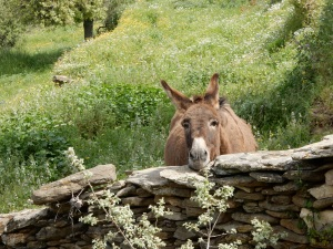 This very friendly donkey is obviously used to hikers stopping by to give him treats. As soon as he saw us, he came up to the stone wall and began making faces.  He was quite funny. I fed him dandelions which seemed to please him. As you can see he does not lack for tender edibles on his own side of the wall.